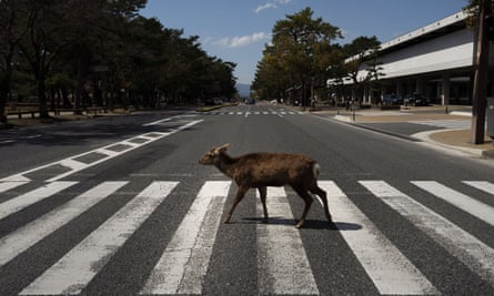 A deer walks across a pedestrian crossing in Nara, Japan. More than 1000 deer roam free in the ancient capital.