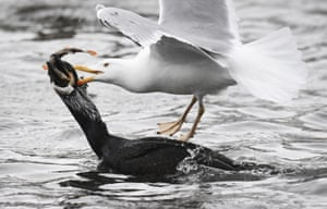 A lesser black-backed gull and a cormorant challenge for a fish in the harbour of the Baltic town of Stralsund, Germany