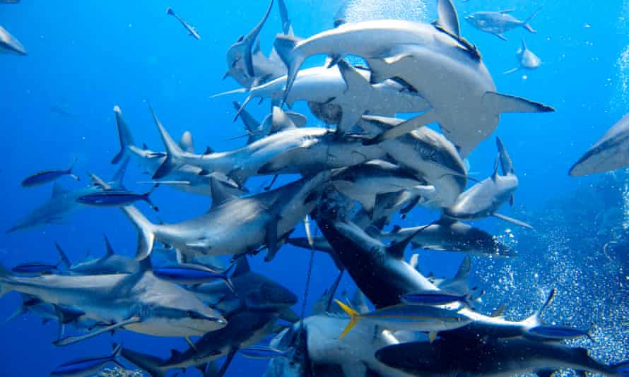 Sharks feed at Osprey Reef in the Coral Sea