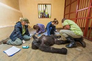 Marcus Westberg, Gorilla care , Finalist, Photojournalism Award: Single Image