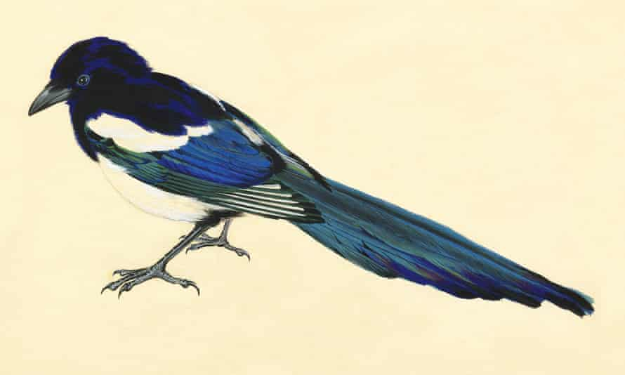 A magpie by Harry Titcombe. He spent hours tracking, observing and sketching birds