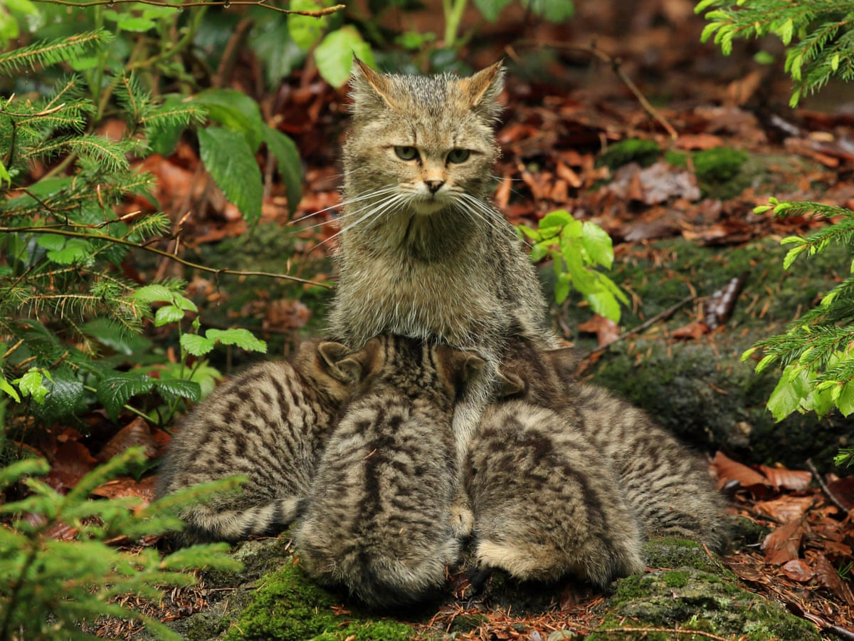 How wildcats will be reared for release in England and Wales | Environment  | The Guardian