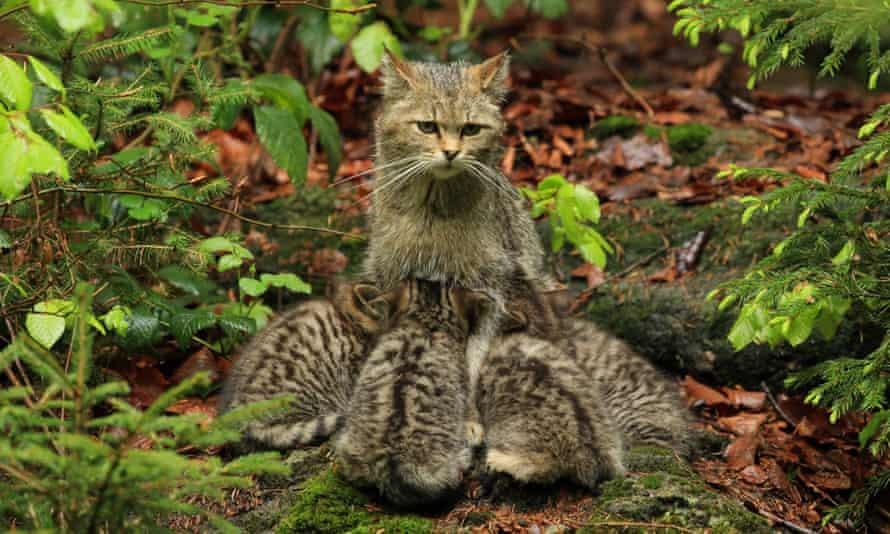 A European wildcat suckling her kittens