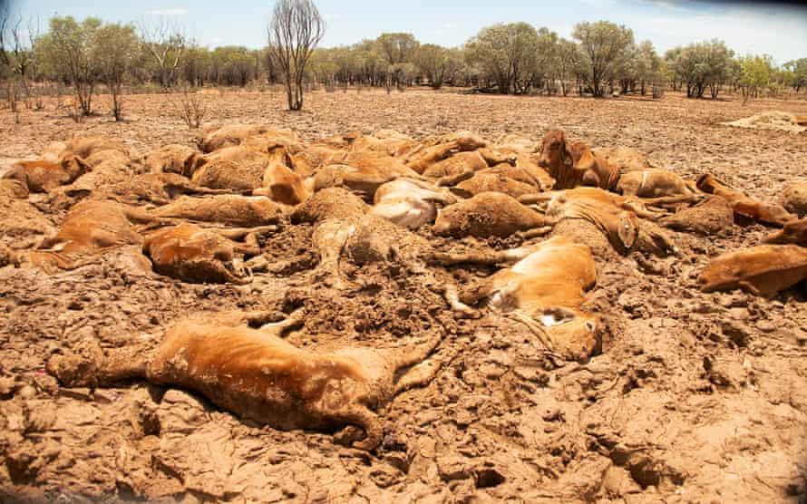 Cattle killed by flood waters in Queensland, Australia in February 2019.