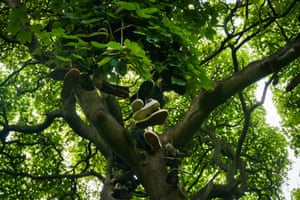 The Shoe Tree in Heaton Park, Newcastle is so-named because students throw their footwear into its canopy shoes to celebrate the completion of their exams. This sycamore laden with the memories of a city, demonstrates the fashions of decades gone by