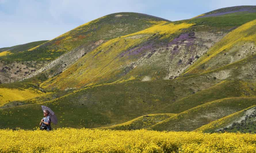 A rare wildflower 'super bloom' near Taft, California, on 4 April. A winter of heavy rains and snowstorms have erased many signs of the drought.