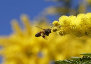 A honey bee approaches the blossom of an Acacia tree during sunny spring weather in London