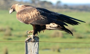 A wedge-tailed eagle