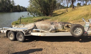 Death of Queensland's largest crocodile in 30 years could