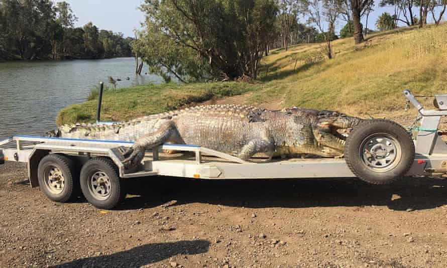 A 5.2 metre crocodile found shot dead near Rockhampton, Queensland is one of the largest ever seen in the state.