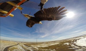eagle carrying GPS logger