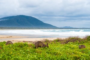 Group of kangaroos grazing at Diamond Head beach, New South Wales, Australia
