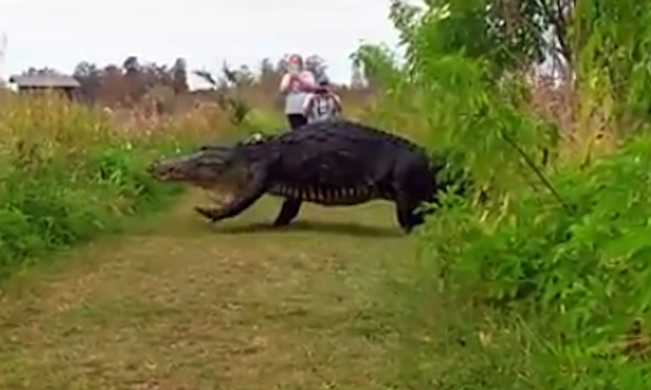 Giant Alligator Strolls Past Tourists In Florida Video Environment The Guardian