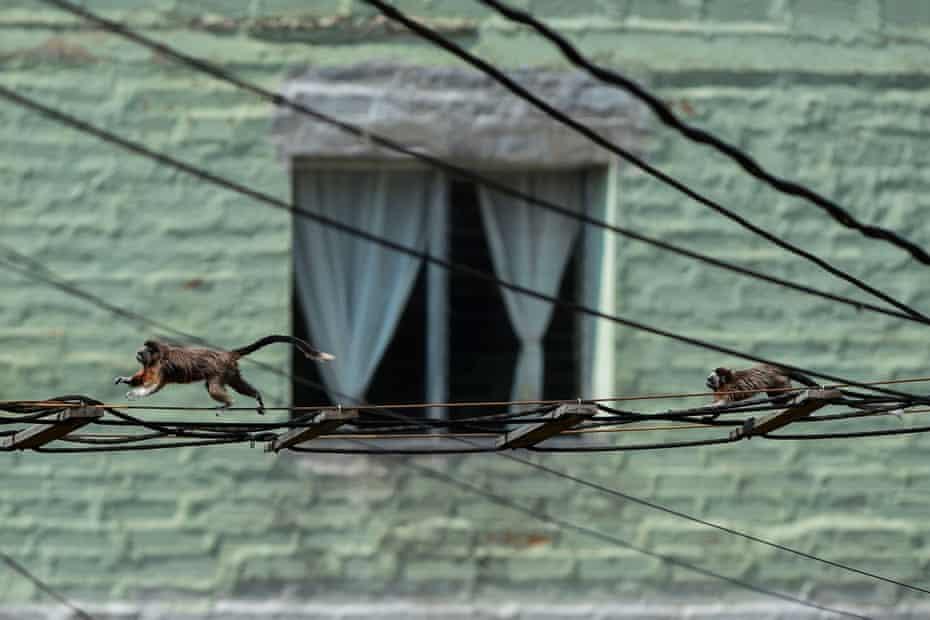 Two silvery-brown Tamarin or Grey Titi monkeys (saguinus leucopus) in Medellin, Colombia, 16 April 2020. The saguinus leucopus is an endangered species.