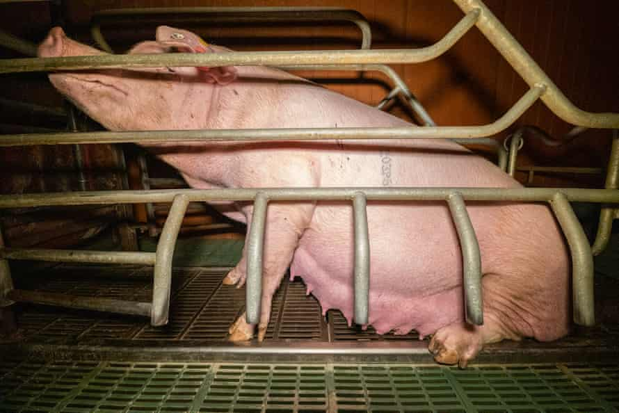 The video appears to show a sow struggling to stand in a narrow farrowing crate.
