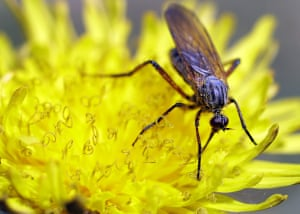 A fly feeds on a dandelion flower in a forest on the outskirts of Minsk, Belarus