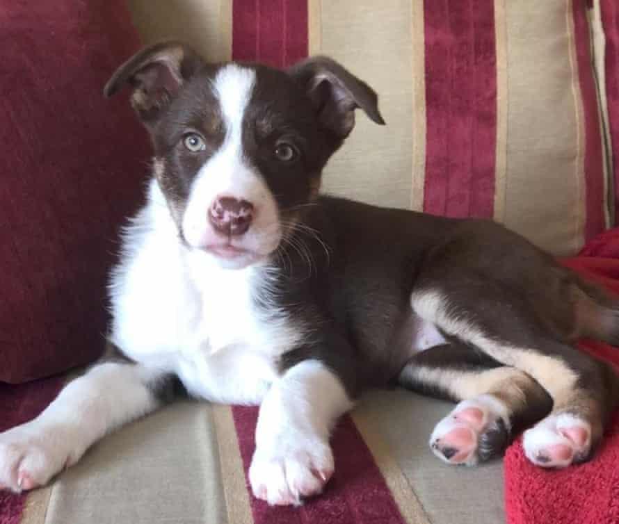 Julie Rayson's collie puppy