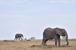 Elephants at Maasai Mara national reserve in Kenya