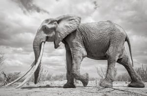 F_MU1, a mature female elephant