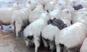Rabbits catch a ride on the back of sheep during floods in New Zealand