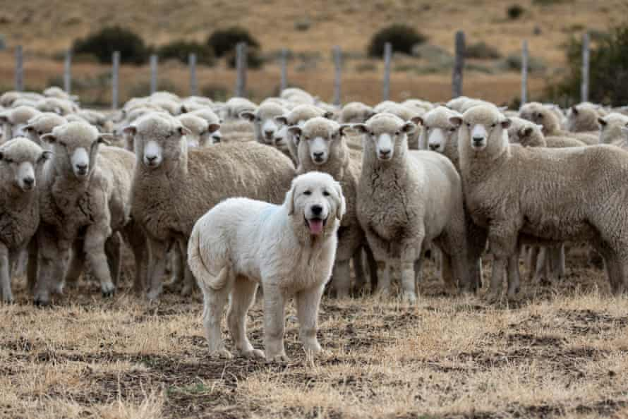 Maremmas are highly-specialised sheepdogs