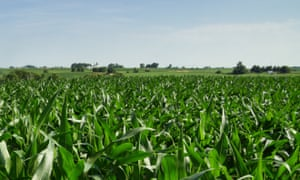 Iowa cornfield in july with distant trees and farm buildings. Image shot 07/2013.