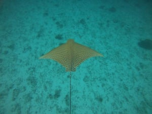 Ornate eagle ray.