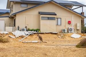 A kangaroo stands among cyclone debris in Kalbarri.