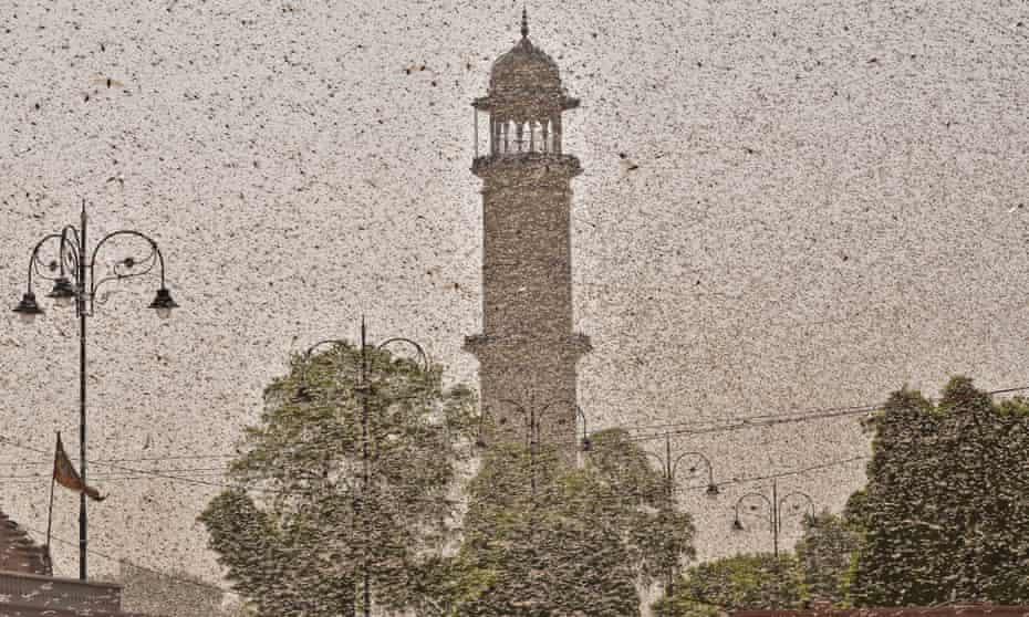 Swarms of locust attack Jaipur, Rajasthan, 25 May 2020