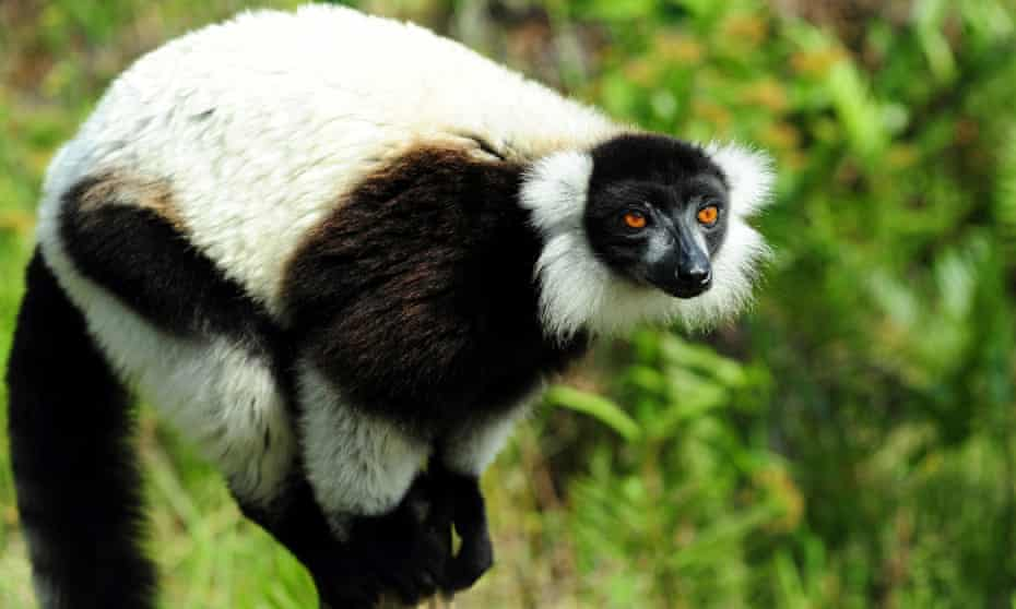 The endangered black-and-white ruffed lemur now faces a further threat to its habitat from Asian toads.
