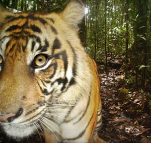 Sumatran tiger – another critically endangered species – found in the area. This one was photographed via camera trap.