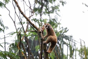 Conservationists reintroduce 30 Javan slow lorises into their natural habitat in Mount Halimun Salak national park in Indonesia. The lorises were released in two groups of 15. Both groups will spend up two weeks in a habituation enclosure before finally being given full freedom
