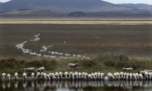 A flock of sheep drink from a dam at the edge of the dried-up Lake George, Australia
