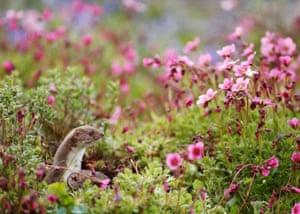 British spring season winner: Robert E Fuller, 'Common weasel', North Yorkshire, England.