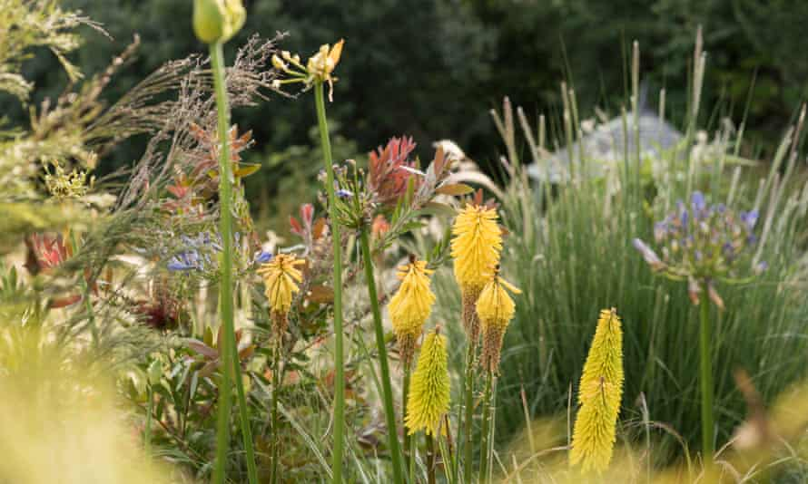 Kniphofia, mixed grasses, agapanthus and Leucadendron 'Safari Sunset' on the banks of the dry garden.