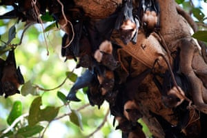 Bats cling onto the lower limbs of a banyan tree on the campus of Gujarat college to cool off because of the high temperatures registered in Ahmedabad, India.