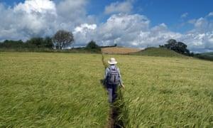 Walker on footpath through barley field, Clun, heading for Bury Ditches, Shropshire, England