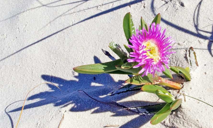 Karkalla, often known as pigface and beach banana, growing on Fraser Island.