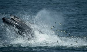A humpback whale feeds less than six miles from New York City. Waters off New York City and the greater New York Bight serve as a feeding ground, nursery, and migratory corridor for many species of marine life including whales, dolphins, sharks, fish, and sea birds.