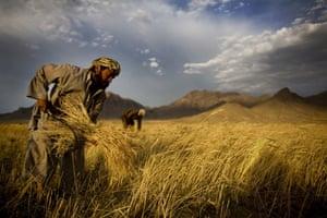 Kabul, 2010. Farmers harvest wheat outside Kabul.