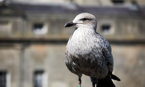'By Sunday, my life is 90% gull': a juvenile herring gull, otherwise known as JHG.