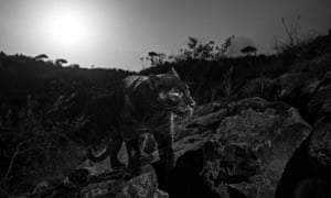 Will Burrard-Lucas is the first person to capture a black leopard on film since 1909