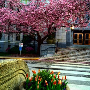 A bright pink tree in flower at Vancouver City Hall, Canada