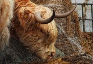 A highland cow in Daisy Nook country park, in Oldham on 6 March.
