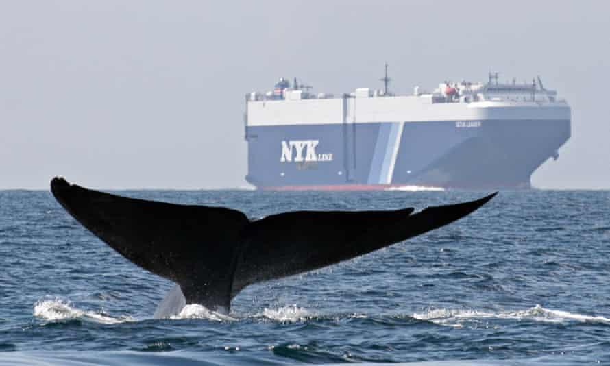 A blue whale swims near a cargo ship in the Santa Barbara Channel off the California coast.
