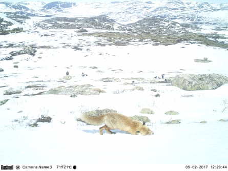 A red fox visits the site.