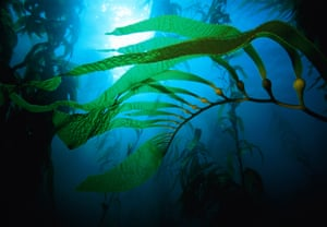 Tasmania's remaining giant kelp forests appear to have been more resilient to the heatwave