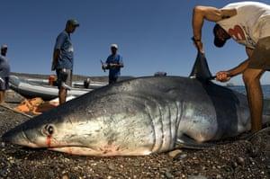 A mako shark being finned at a shark fishing camp in Santa Rosalía, Mexico