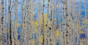 Aspens in autumn, taken in the Wasatch mountains,