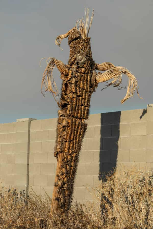 A saguaro cactus appears dry and dying in the Verado community in Buckeye, Arizona.